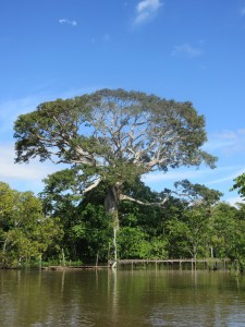 One of the tallest trees in the Amazon.