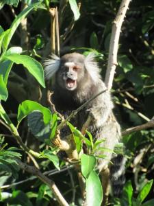 Marmoset monkey, asking Carlie (probably smelled Carlie's snacks)